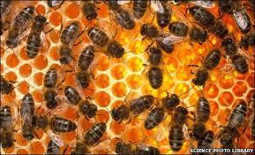 Honey Bee Good News